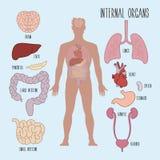 Human internal organs Royalty Free Stock Photo