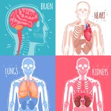 Human Internal Organs Design Concept. With brain, heart, lungs, kidneys and skeleton structure isolated vector illustration Stock Images