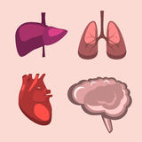 Human internal organs  liver, brain, lungs, heart medicine anatomy. Stock Photography