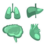 Human internal organs  liver, brain, lungs, heart medicine anatomy. Royalty Free Stock Photo