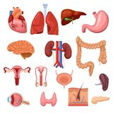 Human internal organs. Vector flat anatomy symbols illustration. Isolated icons set vector illustration