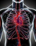 Human Internal System - Circulatory System. Stock Photo