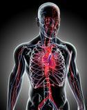 Human Internal System - Circulatory System. Stock Photos