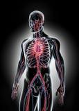 Human Internal System - Circulatory System. Royalty Free Stock Photo