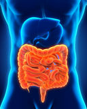Human Intestine Anatomy stock illustration