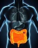 Human Intestine Anatomy Royalty Free Stock Photo