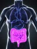 Human Intestine Anatomy Royalty Free Stock Photography
