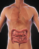 Human Intestine Anatomy. Illustration. 3D render Stock Images