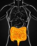 Human Intestine Anatomy. Illustration. 3D render vector illustration