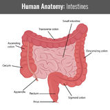 Human Intestines detailed anatomy. Vector Medical Stock Photography