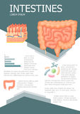 Human intestines infographic Royalty Free Stock Photography