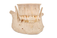 Human jaw. On a white background royalty free stock image