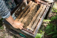 Human kept beehive closeup with man hands. Collecting honey from bee nest Stock Photography
