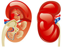 Human kidney Stock Photos