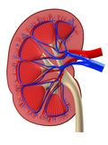Human kidney. 3d rendered anatomy illustration from a cut of human kidney Royalty Free Stock Image