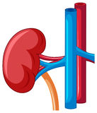 Human kidney in close look Royalty Free Stock Photo