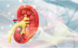 Human kidney cross section anatomy. 3d render Stock Image