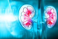 Human kidney cross section Royalty Free Stock Images