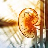 Human kidney cross section Stock Photos
