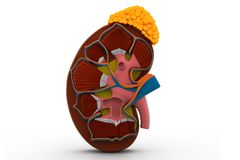 Human kidney. 3d illustration of human kidney Royalty Free Stock Images