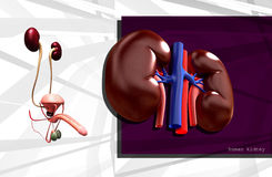 Human kidney Royalty Free Stock Images