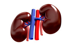 Human kidney Royalty Free Stock Photos
