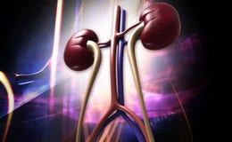 Human kidney stock illustration