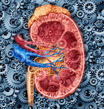 Human Kidney Function. Medical concept with a cross section of the inner organ with red and blue arteries and adrenal gland with gears and cogs as a health care Royalty Free Stock Photography