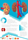 Human kidney infographic Stock Photography