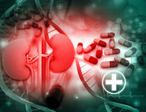 Human kidney and medicines Stock Photography