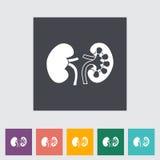 Human Kidney. Royalty Free Stock Photography