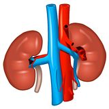 Human kidneys Stock Photo