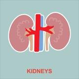 Human kidneys anatomy. Stock Image