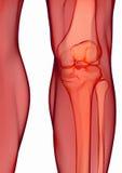 Human knee anatomy. With femur, tibia and fibula bones under X-rays isolated on white Stock Images