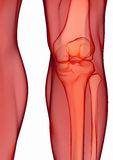 Human knee anatomy Stock Images
