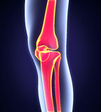 Human Knee Anatomy Royalty Free Stock Images