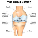 Human Knee Anatomy Royalty Free Stock Image