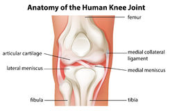 Human knee joint anatomy Royalty Free Stock Images