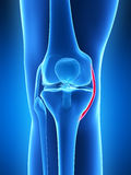 Human knee joint Stock Photos