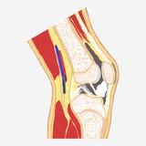 Human knee joint Stock Photo