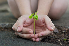 Human lady hands protect the tamarind sprout. Seedling sprout up from the ground. , green earth concept Royalty Free Stock Images