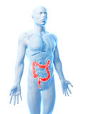 Human large intestine Royalty Free Stock Images