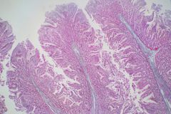Human large intestine tissue under microscope view. Histological for human physiology royalty free stock photos