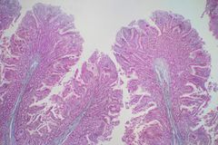 Human large intestine tissue under microscope view. Histological for human physiology royalty free stock image