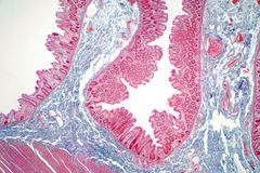Human large intestine tissue under microscope view. Histological for human physiology stock image