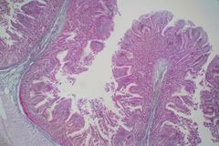 Human large intestine tissue under microscope view. Histological for human physiology royalty free stock images