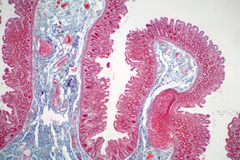 Human large intestine tissue under microscope view. Histological for human physiology stock photo