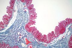 Human large intestine tissue under microscope view. Histological for human physiology royalty free stock photo