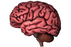Human lateral brain. Human brain lateral view graphic on white background stock illustration