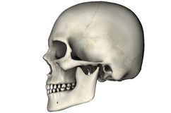 Human lateral skull. Human skull lateral anatomical view 3D illustration on white background vector illustration